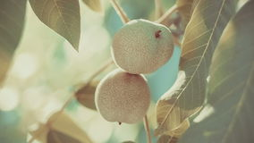 Walnut hanging on walnut tree in sun flares stock video footage