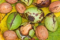Walnut harvest. Royalty Free Stock Image