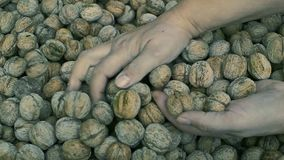 Walnuts in hand stock footage  Video of english, walnut