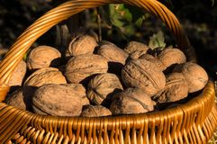 Walnuts in the basket stock photos