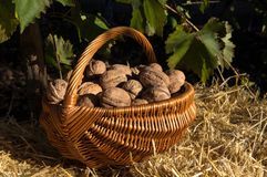 Walnuts in the basket stock images