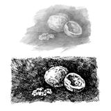 Walnut. Illustration. Walnut. Ink drawing. Vector illustration Stock Photo