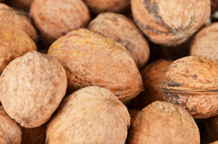 Walnut (Juglans regia) Royalty Free Stock Image
