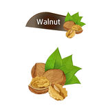 Walnut kernel in nutshell with leaves set. Walnut kernel in nutshell with green leaves set isolated on white background vector illustration. Organic food Stock Photo