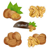 Walnut kernel in nutshell with leaves set. Walnut kernel in nutshell with green leaves set isolated on white background vector illustration. Organic food Stock Images