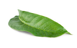 Walnut leaf Stock Image