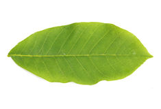 Walnut leaf Stock Photography