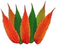 Walnut leaf fall colors stock photography