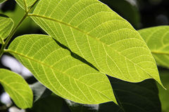 Walnut leaf. Green walnut leaf on the blurred background stock image