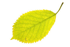Walnut leaf on isolated Royalty Free Stock Photography