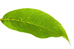 Walnut leaf Stock Photo