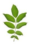 Walnut leaf stock images