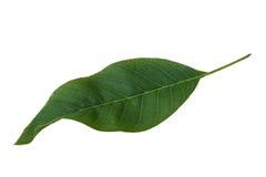 Walnut leaf Royalty Free Stock Image