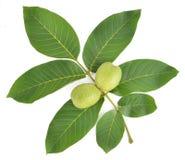 Walnut Leaf Juglans regia. Walnut is a deciduous broadleaf tree native to south-east Europe to south-west China. Common name: walnut Scientific name: Juglans stock photos