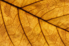 Walnut leaf macro Stock Photo