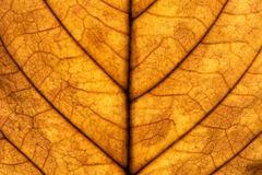 Walnut leaf macro Royalty Free Stock Image