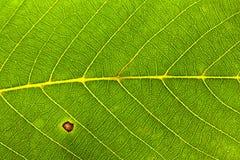 Walnut leaf texture Stock Images