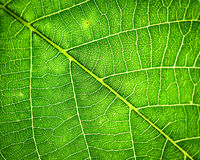 Walnut leaf texture. Green walnut leaf texture with detalized veins and streaks royalty free stock photography