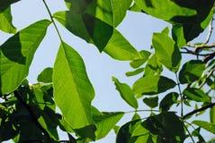 Walnut leaf Royalty Free Stock Images