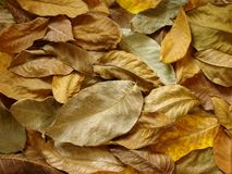 Walnut leaves Stock Image