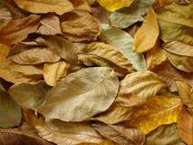 Walnut leaves stock image