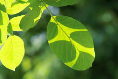 Walnut leaves Royalty Free Stock Photography
