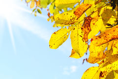Walnut leaves and blue sky Royalty Free Stock Image