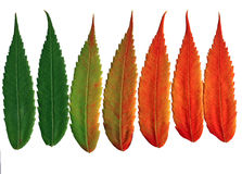 Walnut leaves changing colors. The leaves of the black walnut tree change colors in the autumn. Isolated on pure white stock photos
