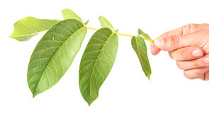 Walnut leaves Royalty Free Stock Images