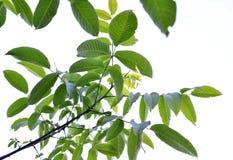 Walnut leaves Stock Photo