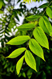 Walnut leaves in spring Stock Photography