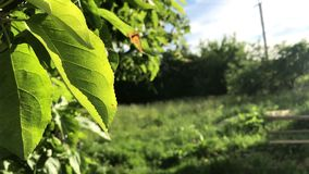 Walnut leaves sway in the wind. Lit by bright summer sun. The countryside is full of greenery. Walnut leaves sway in the wind. Lit by bright summer sun. The stock video footage