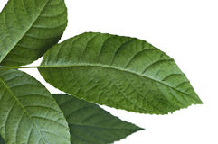 Walnut Leaves on White Royalty Free Stock Photography