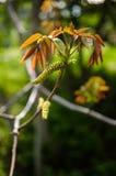 Walnut Male Flower Stock Photography
