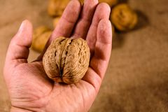 Walnut in a male hand above the sackcloth royalty free stock photography
