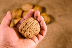 Walnut in a male hand above the sackcloth royalty free stock photo