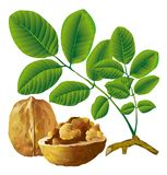 Walnut nut with leaf Royalty Free Stock Photography