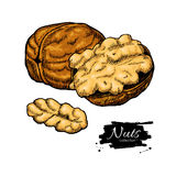 Walnut nuts vector hand drawn illustration. Artistic colorful sketch food objects Stock Photography