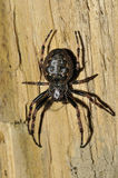 Walnut Orb-Weaver Spider Stock Photos