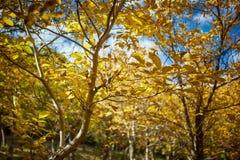 Walnut orchard in the autumn Stock Photos