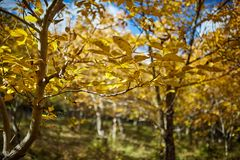 Walnut orchard in the autumn Royalty Free Stock Image