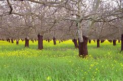 Walnut Orchard In Early Spring Stock Photos