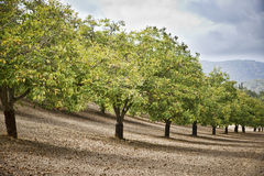 Walnut orchard stock image