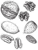 Walnut, pecan, and almond sketches Stock Images