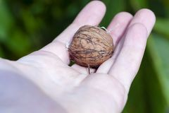 Walnut Royalty Free Stock Photos