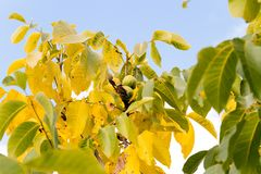 Walnut. Photographed by a close up a walnut tree in an autumn season Royalty Free Stock Images