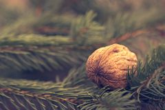 Walnut on pine branch royalty free stock images