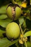 Walnut ripe Royalty Free Stock Image