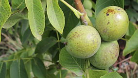 Walnut ripe nuts. A bunch of nuts,sway in the wind stock footage