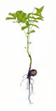 Walnut seedling, Juglans regia Stock Photo